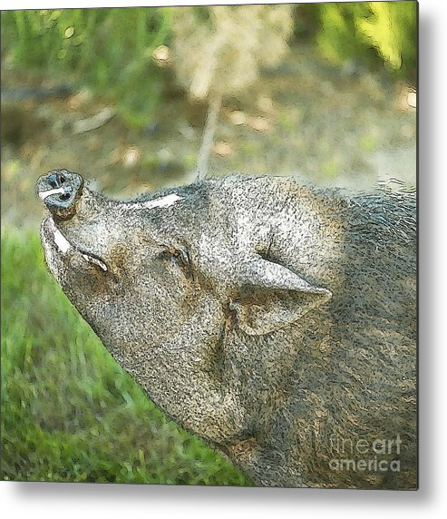Pig Metal Print featuring the photograph Woody Smiles by Artist and Photographer Laura Wrede