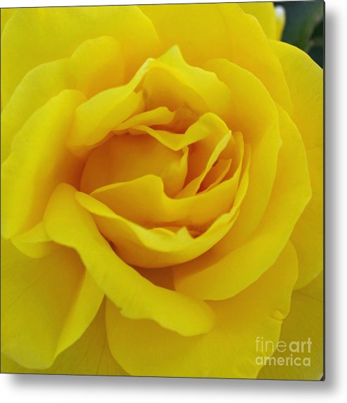 Beautiful Metal Print featuring the digital art Yellow Rose by Jacklyn Duryea Fraizer