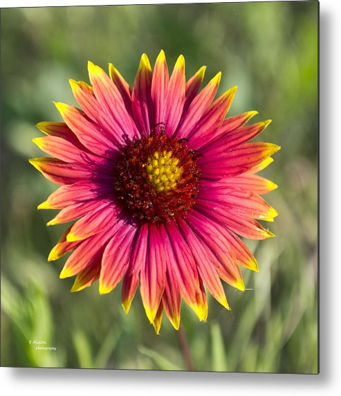 Flower Metal Print featuring the photograph Yellow Tips by Teresa Dixon