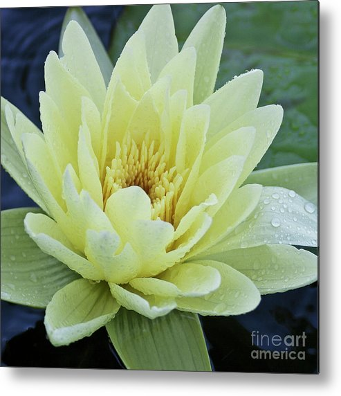Water Llilies Metal Print featuring the photograph Yellow Water Lily Nymphaea by Heiko Koehrer-Wagner