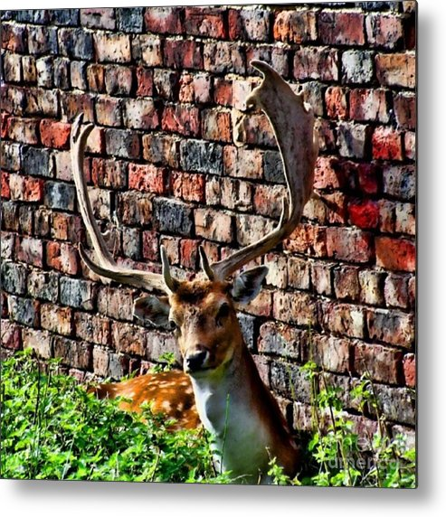 Deer Metal Print featuring the photograph Against The Wall by Isabella F Abbie Shores