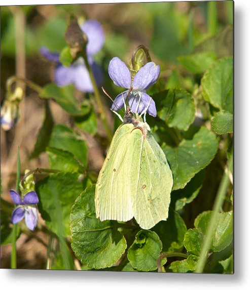 Common Brimstone. Sitruunaperhonen Metal Print featuring the photograph Common Brimstone by Jouko Lehto