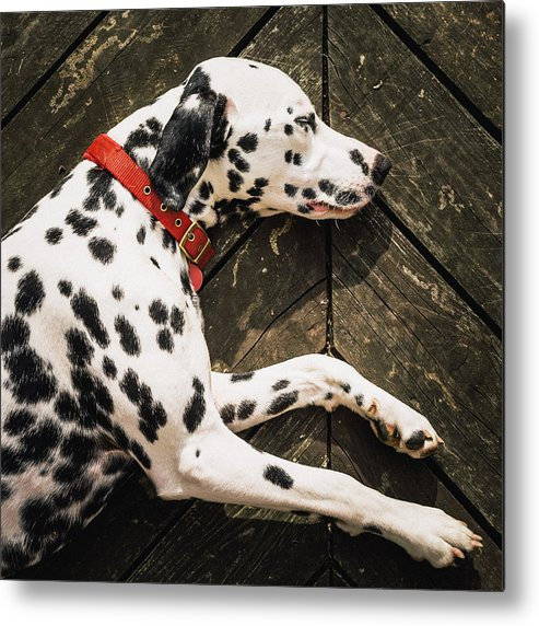 Square Metal Print featuring the photograph A Dalmatian Sleeping On A Wooden Deck by © Randall Murrow