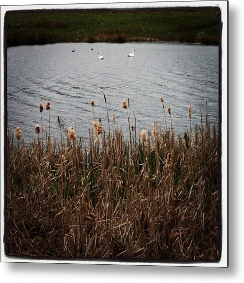Metal Print featuring the photograph Bull Rushes And Swans by Chris Jones