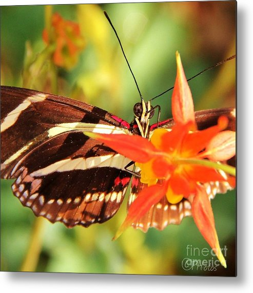 Butterfly Metal Print featuring the photograph Butterfly Beauty by Phil Huettner