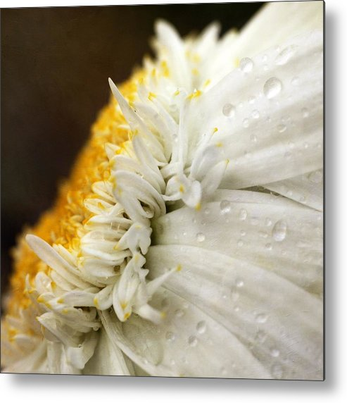 Square Metal Print featuring the photograph Chrysanthemum Daisy With Raindrops by Nichola Sarah