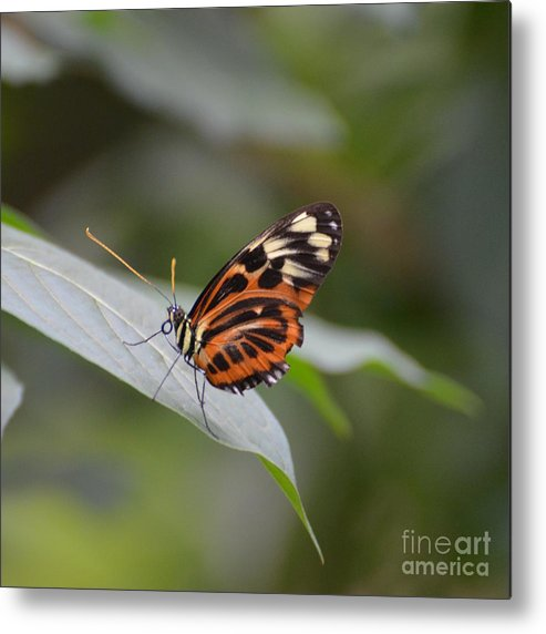 Butterfly Metal Print featuring the photograph Common Tiger Glassywing by Paulina Roybal