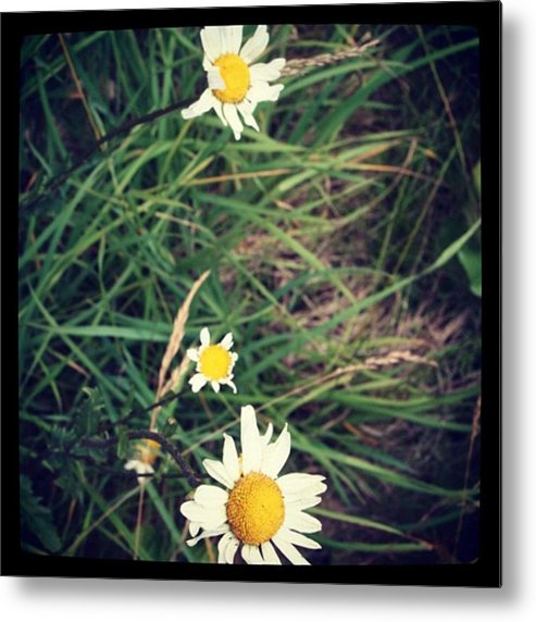 Metal Print featuring the photograph Daisies by Chris Jones