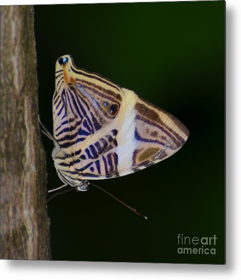 Butterfly Metal Print featuring the photograph Dirce Beauty by Paulina Roybal