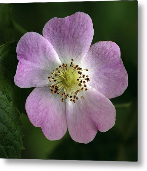 Dog Rose Metal Print featuring the photograph Dog Rose (rosa Canina) by Linda Wright