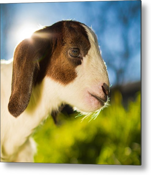 Square Metal Print featuring the photograph Goat by TC Morgan Photography