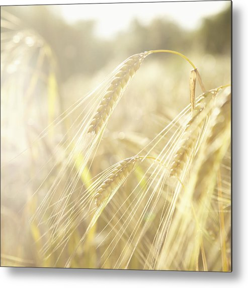 Square Metal Print featuring the photograph Golden Wheat Field In Sunlight, Close-up by Lisa Stirling