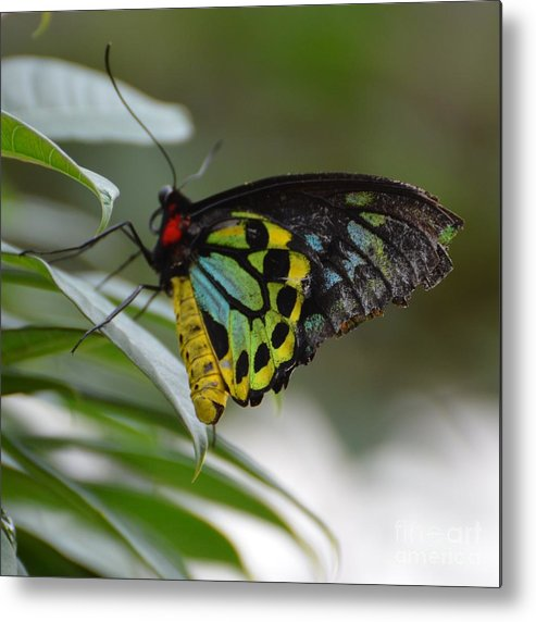 Butterfly Metal Print featuring the photograph Great Mormon by Paulina Roybal