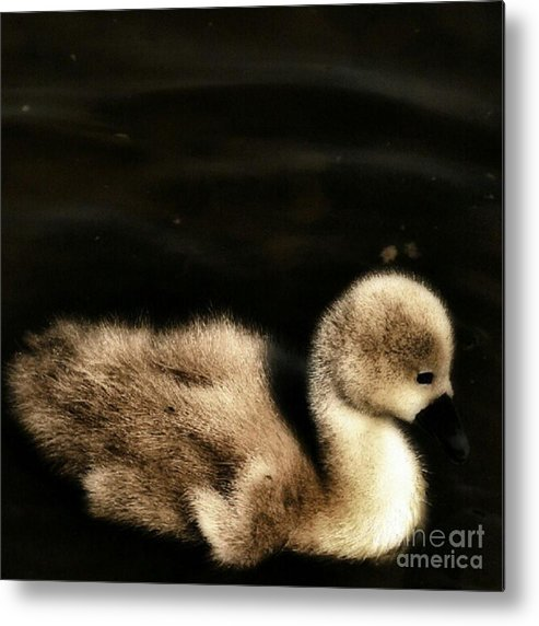 Cygnet Metal Print featuring the photograph Lone Cygnet by YoursByShores Isabella Shores