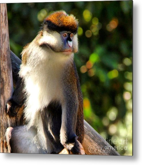 Macaque Metal Print featuring the photograph Macaque by Phil Huettner
