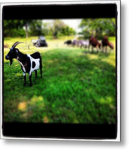 Metal Print featuring the photograph Mama Goat by Dana Coplin