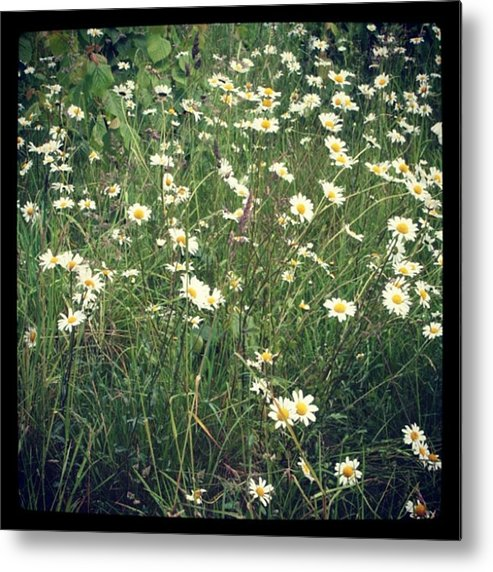 Metal Print featuring the photograph Manchester Daisies by Chris Jones