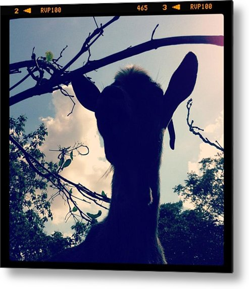 Metal Print featuring the photograph Pepper The Goat by Dana Coplin