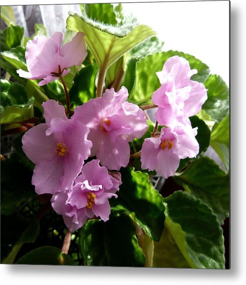 Pink Metal Print featuring the photograph Pink African Violets by Will Borden