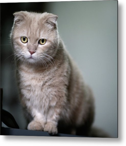 Square Metal Print featuring the photograph Portrait Of Cat by LeoCH Studio