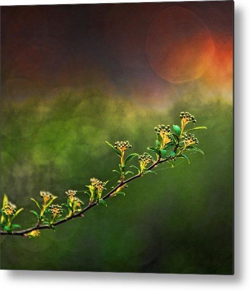 Spirea Metal Print featuring the photograph Spirea Sunset by Brenda Bryant