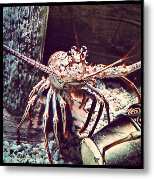 Andrography Metal Print featuring the photograph Suddenly, I Want Seafood.... #lobster by Kel Hill