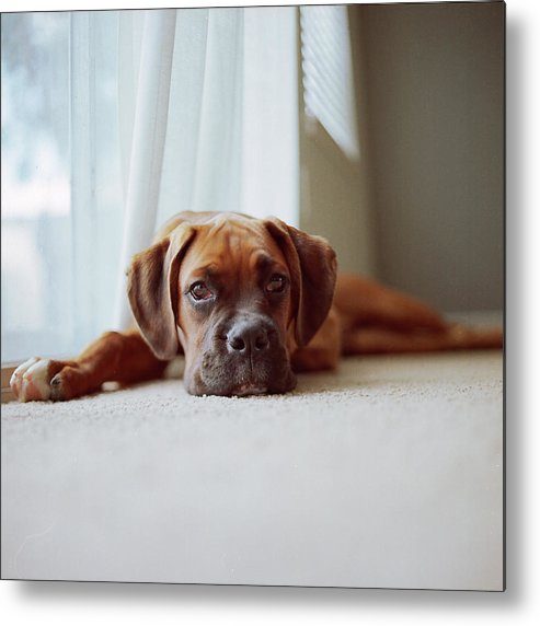 Square Metal Print featuring the photograph Tan Boxer Puppy Laying On Carpet Near Window by Diyosa Carter