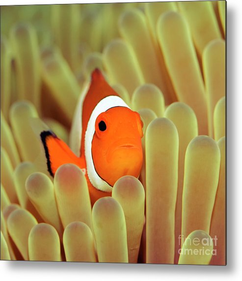 Clownfish Metal Print featuring the photograph Anemone And Nemoish. by MotHaiBaPhoto Prints