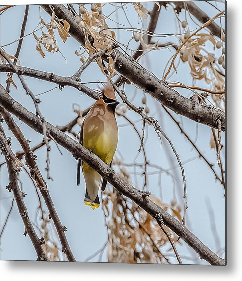 Waxwings Metal Print featuring the photograph Cedar Waxwing Beauty by Yeates Photography