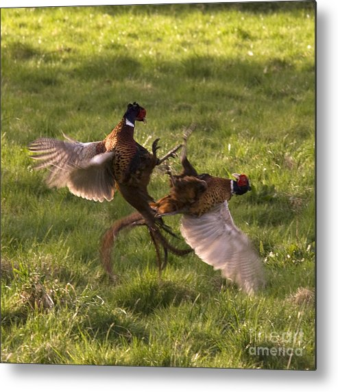 Pheasant Metal Print featuring the photograph The Sparring by Angel Ciesniarska