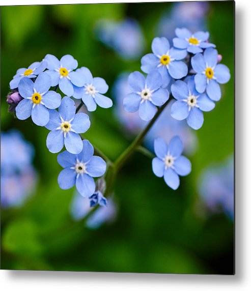 Finland Metal Print featuring the photograph Forget Me Not by Jouko Lehto
