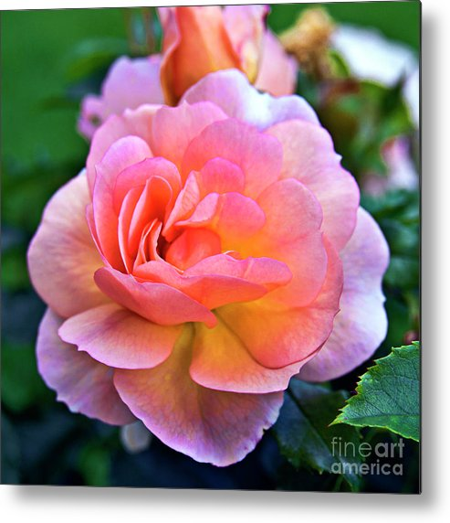 Rose Metal Print featuring the photograph A Rose Is A Rose by Silva Wischeropp