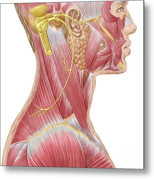 Biomedical Illustrations Metal Print featuring the digital art Accessory Nerve View Showing Neck by Stocktrek Images