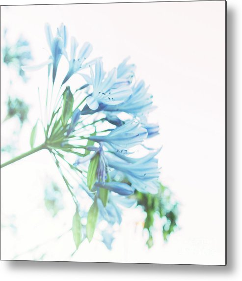Blue Metal Print featuring the photograph Agapanthus 1 by Cindy Garber Iverson