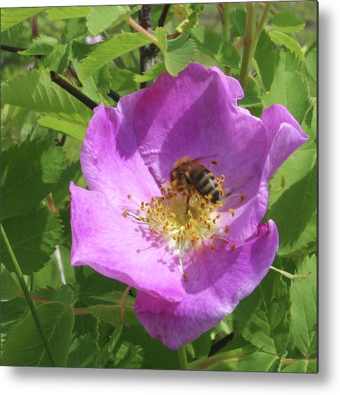 Rose Metal Print featuring the photograph Alberta Wild Rose And Bee by Jack Dagley