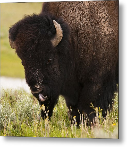 Bison Metal Print featuring the photograph American Bison Tongue by Chad Davis