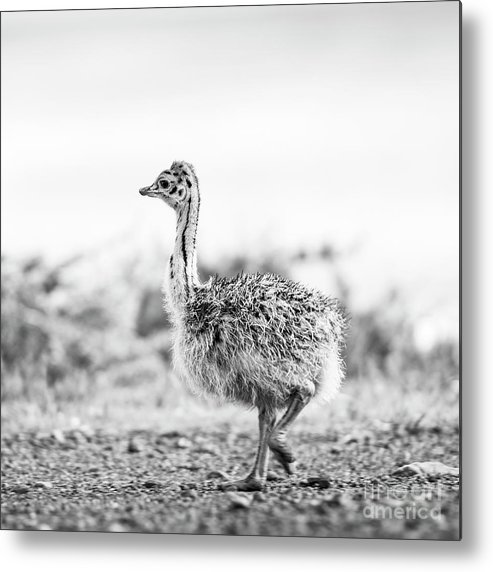 Landscape Metal Print featuring the photograph Baby Ostrich Black And White by Tim Hester