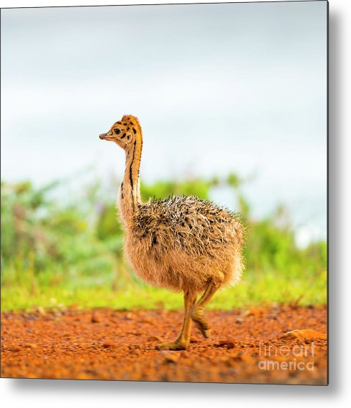 Ostrich Metal Print featuring the photograph Baby Ostrich by Tim Hester