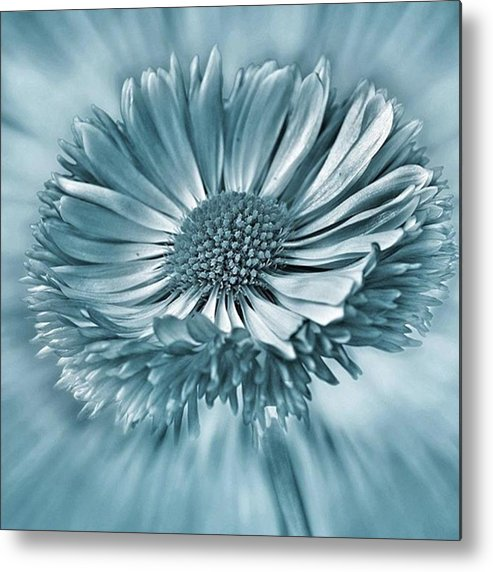 Beautiful Metal Print featuring the photograph Bellis In Cyan  #flower #flowers by John Edwards