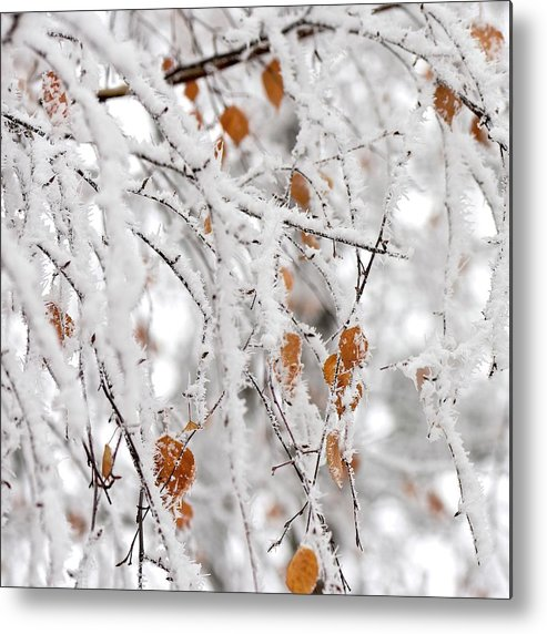 Birch Tree In The Frost. Kiev Metal Print featuring the photograph Frost Birch by Boris Andresyuk