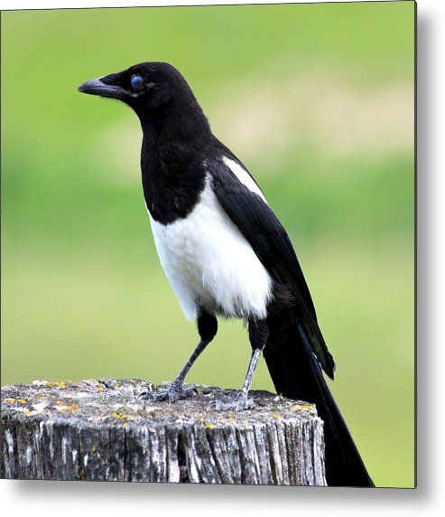 Black Metal Print featuring the photograph Black-billed Magpie by Karon Melillo DeVega