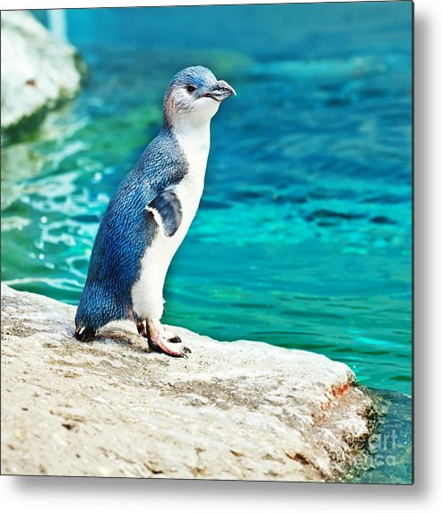 Blue Metal Print featuring the photograph Blue Penguin by MotHaiBaPhoto Prints