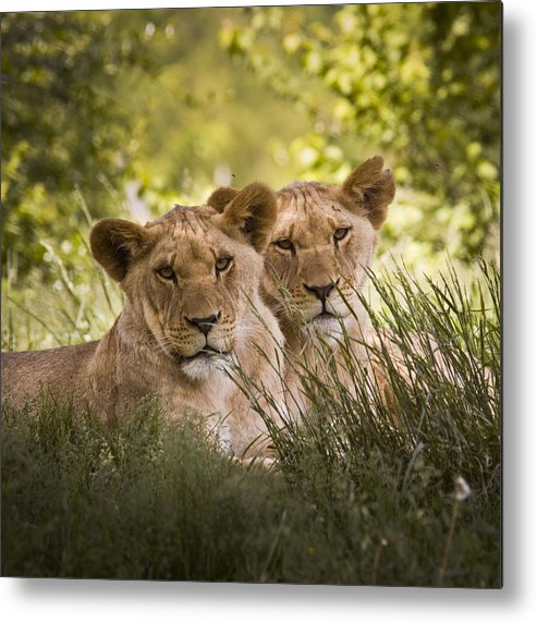 Chad Davis Metal Print featuring the photograph Brothers by Chad Davis