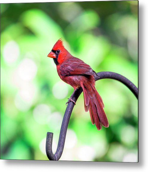 Cardinal Metal Print featuring the photograph Cardinal Rule by Valerie Cason