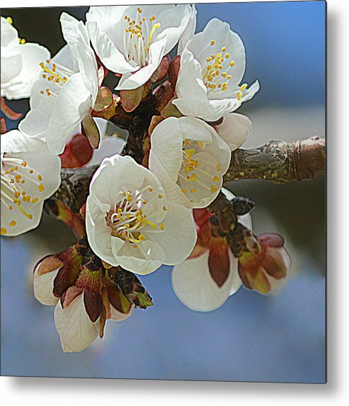 Art Metal Print featuring the photograph Apricot Blossom IIi by Joan Han