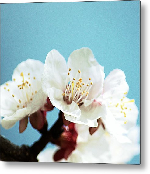 Art Metal Print featuring the photograph Apricot Flowers IIi by Joan Han