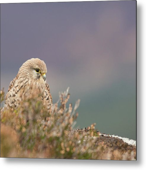 Animalia Metal Print featuring the photograph Common Kestrel Falco Tinnuculus Perched On Rock by Lisa Greenhorn