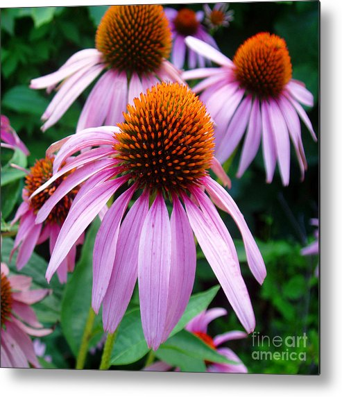 Coneflowers Metal Print featuring the photograph Three Coneflowers by Nancy Mueller