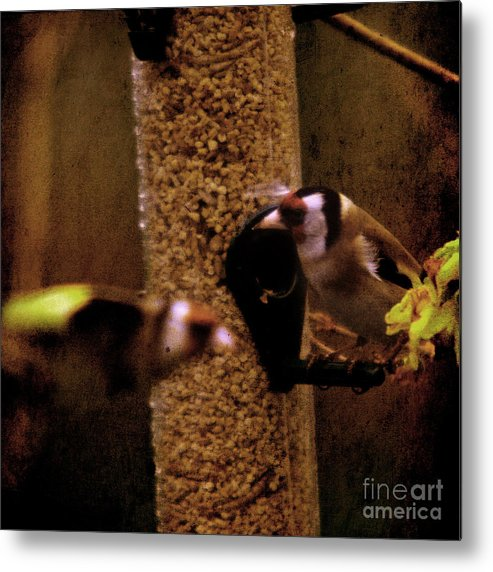Feeder Metal Print featuring the photograph Crazy Goldfinch by Angel Ciesniarska
