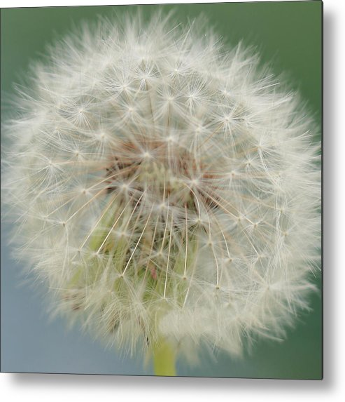 Dandelion Metal Print featuring the photograph Dandelion by Arild Lilleboe